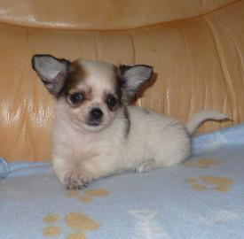 Adorable Chiot Chihuahua Femelle Lof A Donner Petites Annonces Tahiti